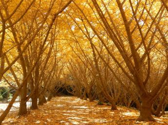 A Thousand Ginko Trees