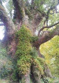 Giant Camphor Tree