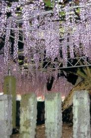 The General's Wisteria Tree