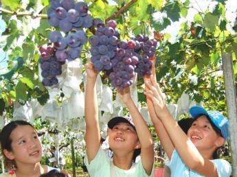 Kyoho Grape Picking in Ukiha Town