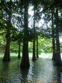 Cone-shaped bald cypress trees floating in a pond (rakuusho)…