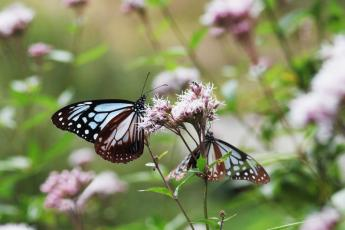 Eupatorium japonicum (fragrant eupatorium) and chestnut tiger butterflies…