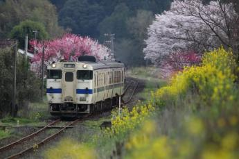 Tranquil scenery where cherry blossoms and rapeseed blossoms bloom…