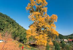 Ginkgo trees of Sarukawa